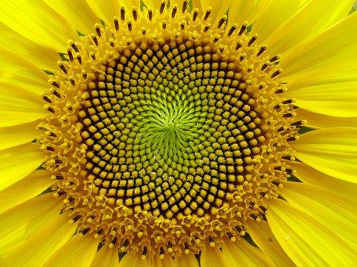 fi ayçiçeği