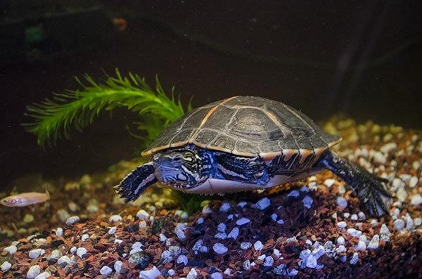 Su Kaplumbağaları Hakkında şaşırtıcı Bilgiler Emoji