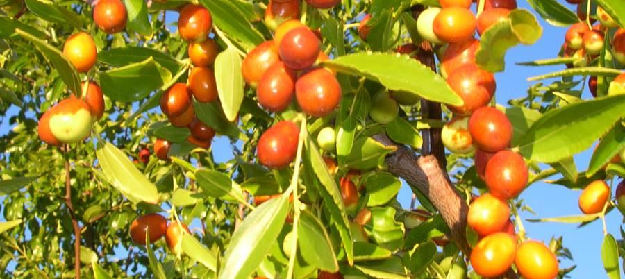 Hünnap Nedir Meyvesinin Faydaları Nelerdir Hünnapla
