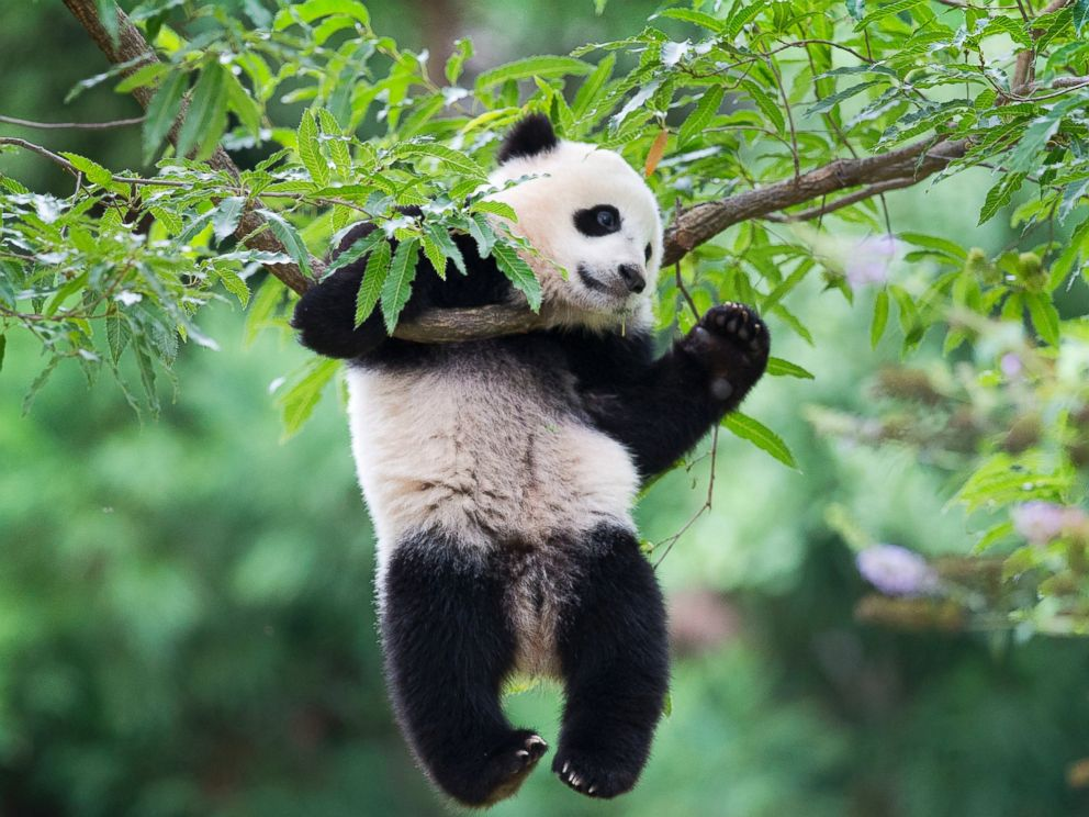 pandaların gözleri
